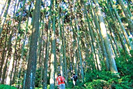 風情照片-鵝公髻山步道的杉仔林。圖/陳素恩
