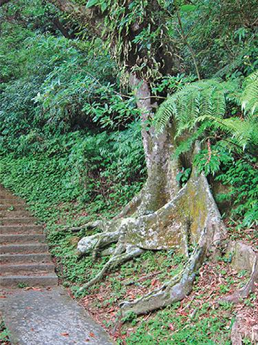 風情照片-沿途所見榕屬的板根樹。