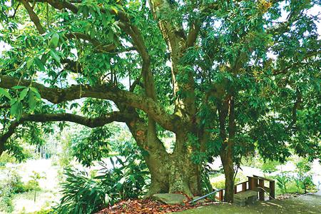風情照片-台灣最高樹齡的玉蘭樹位在豐原東陽里。