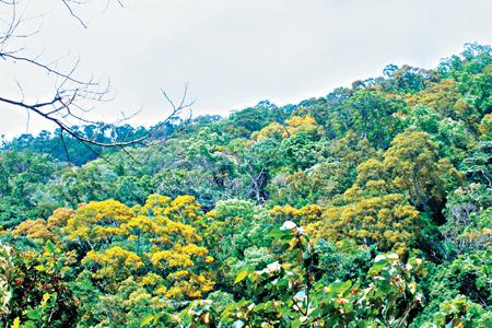 風情照片-五月中旬,關刀山的相思樹花盛開。
