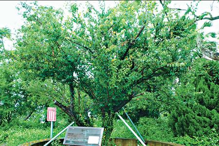 風情照片-飛鳳探梅的老梅樹。