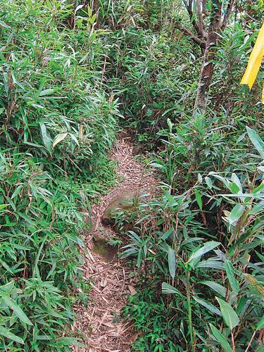 風情照片-箭竹包圍的登頂小路。