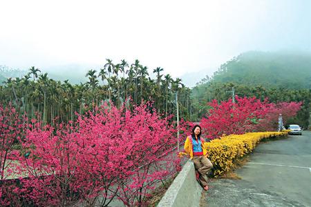 風情照片-山腳下的華山咖啡園區櫻花盛開樣貌。