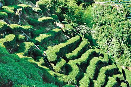 風情照片-杉林溪種植的高山茶香氣幽雅。