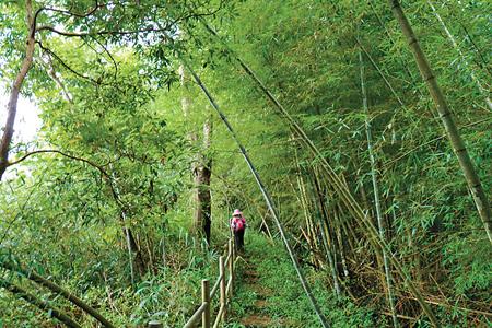 風情照片-步道上桂竹林光景。