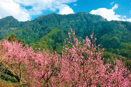 風情照片-櫻花襯映的石壁山。圖/崔祖錫