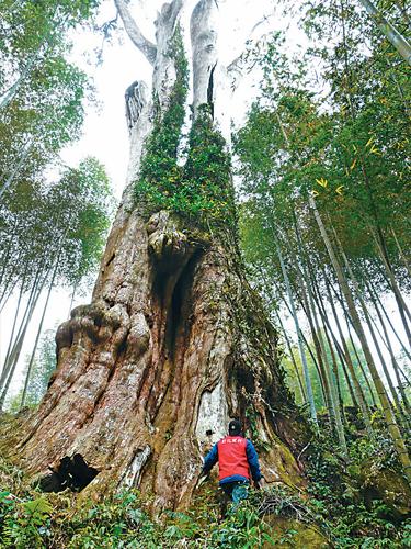 風情照片-竹溪神木。
