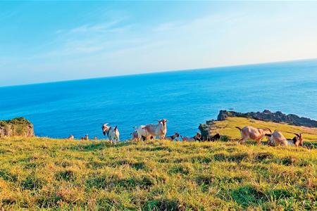 風情照片-島上處處可見的蘭嶼山羊。圖/陳素恩