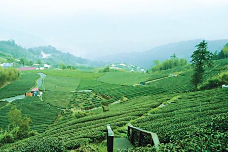 風情照片-大尖山眺望茶園。