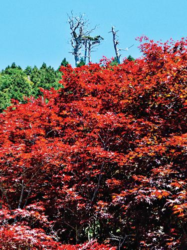 風情照片-太平山莊的紫葉槭風情。